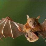 """號稱世界頭號""""毒王""""的蝙蝠,究竟有多毒?"""